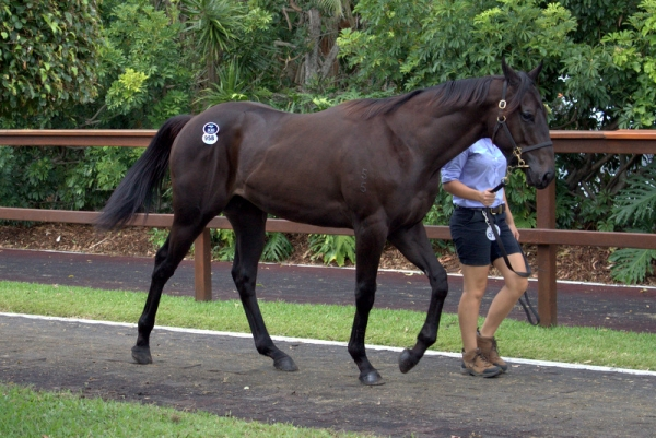 Smart Missile x Foscat colt at the 2017 Gold Coast National Yearling Sale